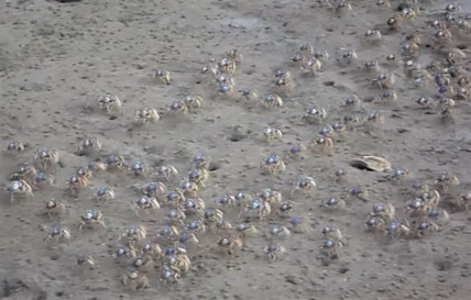 Soldier Crabs on the March